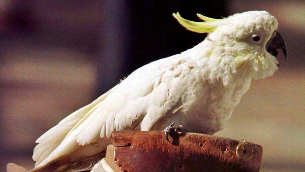 Avustralya tepeli papağan - Sputnik Türkiye
