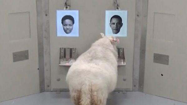 Koyunlar yüzleri tanıyabiliyor - Sputnik Türkiye