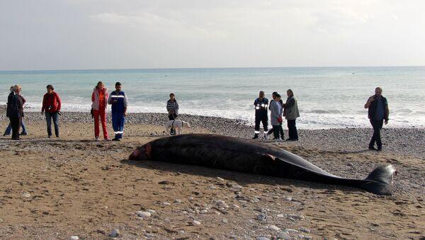Kemer'de kıyıya vuran yavru balina - Sputnik Türkiye