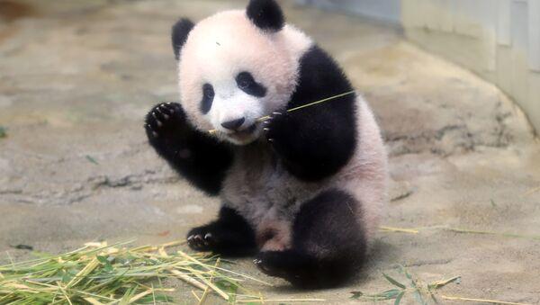 Panda yavrusu  Şiang Şiang - Sputnik Türkiye