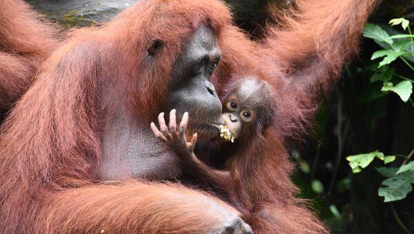 orangutan - Sputnik Türkiye