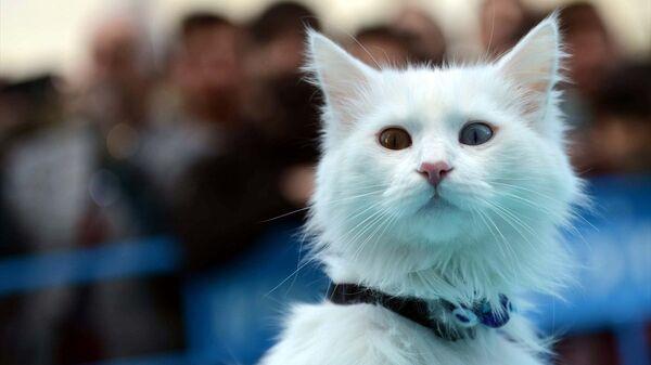 Van'da 3. Van Kedisi Güzellik Yarışması gerçekleştirildi - Sputnik Türkiye
