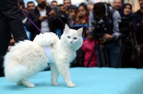 Van Yüzüncü Yıl Üniversitesi (YYÜ) tarafından 3.'sü düzenlenen Van Kedisi Güzellik Yarışmasında en güzel kedi seçildi. - Sputnik Türkiye