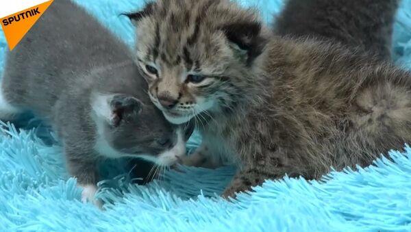 Rusya'da kedi yavru vaşağa annelik yaptı - Sputnik Türkiye