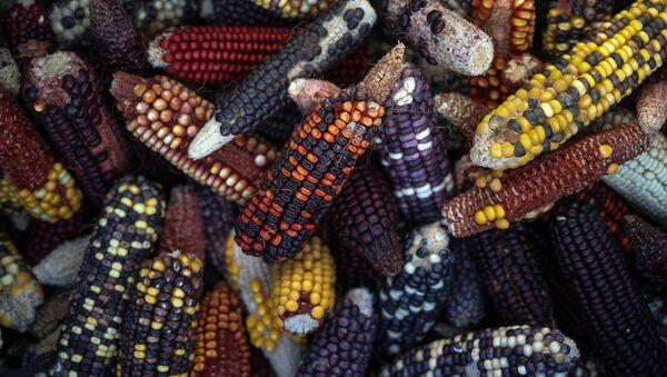 ABD'nin Teksas A&M Üniversitesi'nde yetiştirilen yeni tür mısırlar - Sputnik Türkiye