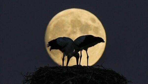 Yüzyılın en uzun Ay tutulması öncesi Van Gölü kenarında yuva yapan leyleklerin görüntüleri kameralara yansıdı. - Sputnik Türkiye