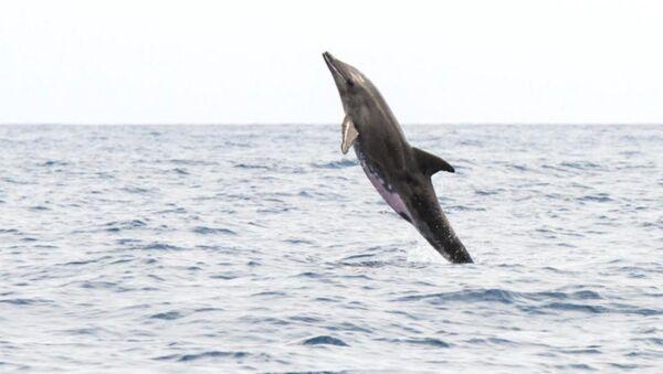 Yarısı yunus diğer yarısı balina - Sputnik Türkiye