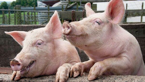 bir çift domuz - Sputnik Türkiye