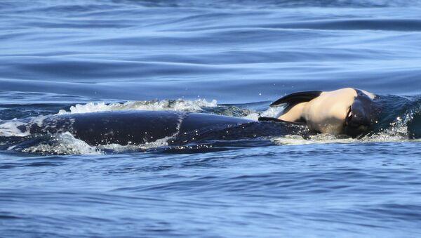 Ölü yavrusunu 2 hafta boyunca taşıyan katil balina 'J35' - Sputnik Türkiye