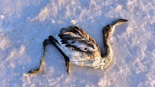 Tuz Gölü'nde çok sayıda yavru flamingo yaşamını yitirdi - Sputnik Türkiye
