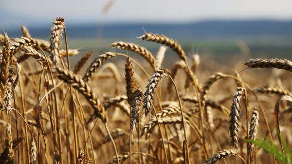 Grain harvesting in Simferopol District, Crimea - Sputnik Türkiye