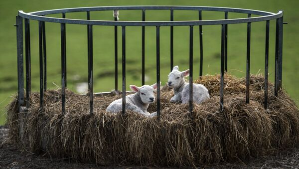 Two newborn lambs sit in a bale feeder on Pip Simpson's farm on Wansfell hill, above Troutbeck village in the Lake District National Park, near the town of Ambleside, northern England on April 18, 2018 - Sputnik Türkiye