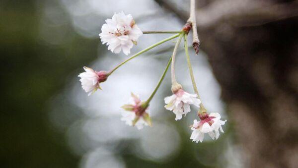 Japonya'da kiraz çiçekleri 6 ay erken açtı - Sputnik Türkiye