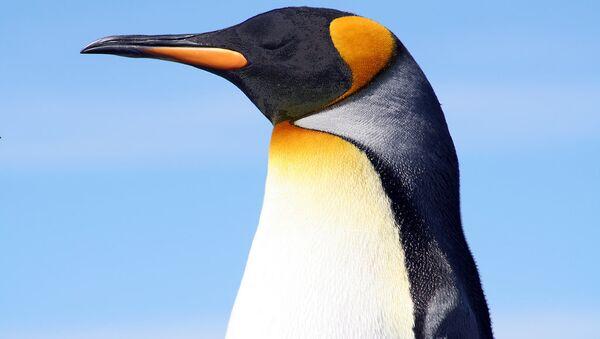 King penguin at the Falkland Islands. - Sputnik Türkiye