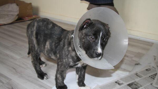 Yavru köpek, kulakları kesilmiş halde bulundu - Sputnik Türkiye