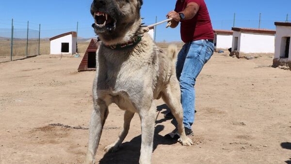 Kangal köpeği - Sputnik Türkiye