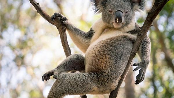 Avustralya'daki seksi koala - Sputnik Türkiye