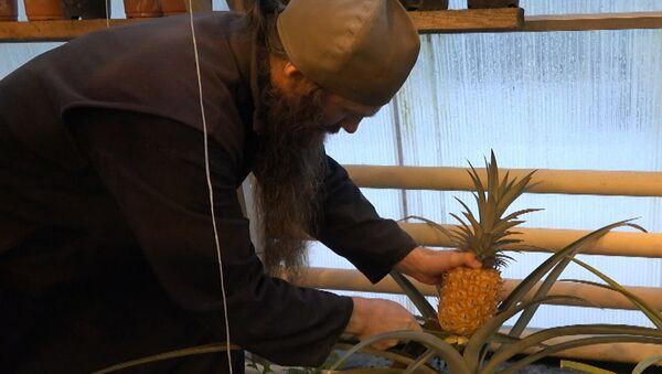Rusya'nın Valaam Adası'nda ilk ananas hasadı yapıldı - Sputnik Türkiye