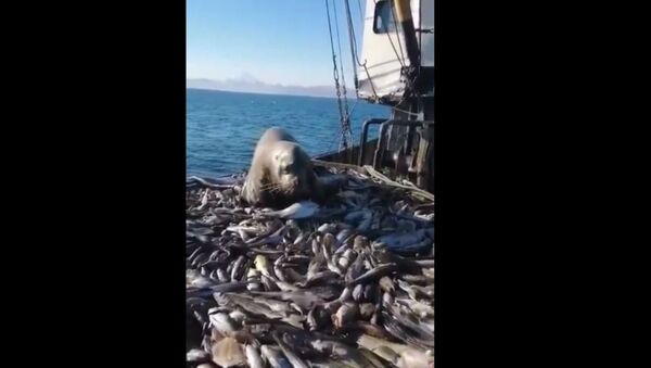 Deniz aslanı balıkçı teknesinde ziyafet çekti - Sputnik Türkiye