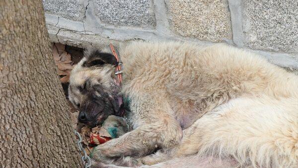 İzmir'de, bir köpeğin otomobilin arkasına iple bağlanıp sürüklendiği görüntünün sosyal medyada paylaşılmasının ardından köpeğin sahibi gözaltına alındı, köpek hayvanseverler tarafından veterinere götürüldü. - Sputnik Türkiye