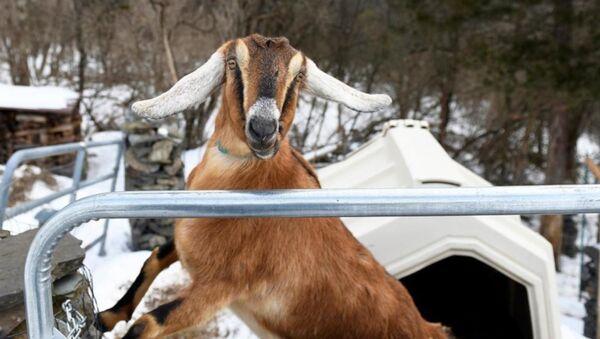 ABD'nin Vermont eyaletinde Lincoln isimli keçi, Fair Haven adlı kasabada fahri belediye başkanı seçildi. - Sputnik Türkiye