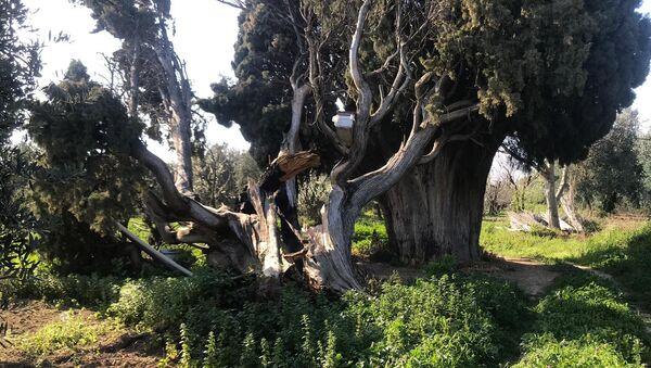 anıt ağaç - Sputnik Türkiye