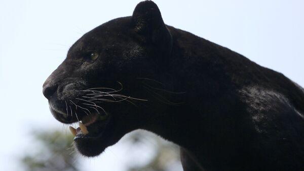 Jaguar - Sputnik Türkiye