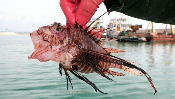 zehirli aslan balığı - Sputnik Türkiye