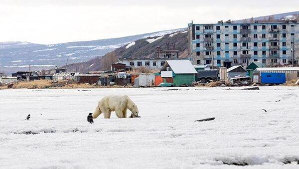 Rusya - Kutup ayısı - Sputnik Türkiye