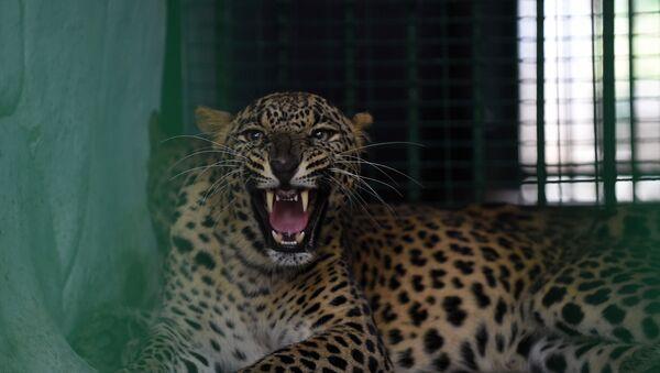 Sri Lanka'da leoparın saldırdığı kişi öldü  - Sputnik Türkiye
