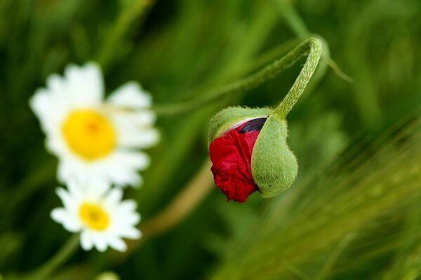 Papatya ve açmak üzere olan bir gelincik çiçeği - Sputnik Türkiye