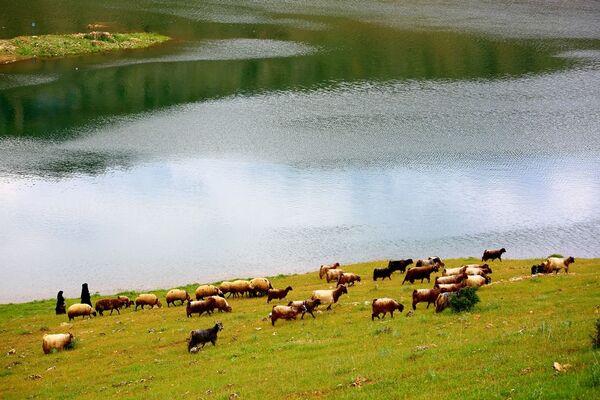 Eğil İlçesi'nde baraj kenarında otlanan koyun sürüsü - Sputnik Türkiye