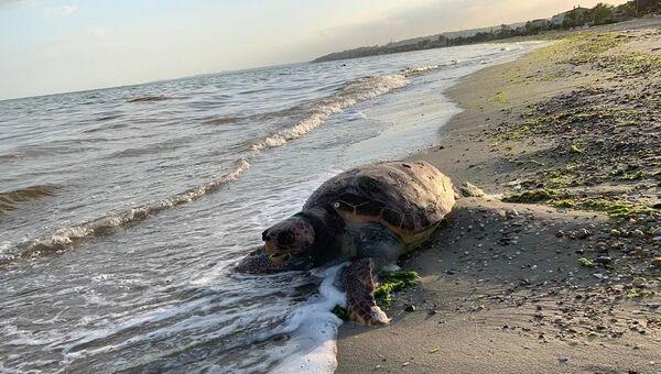 Silivri'de kıyıya vurandeniz kaplumbağası caretta caretta - Sputnik Türkiye