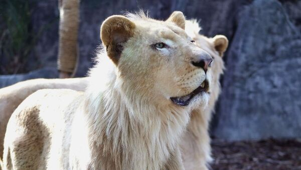 Beyaz aslanlar  - Sputnik Türkiye