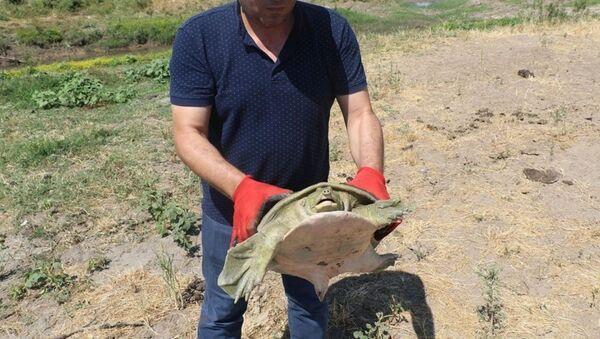 Diyarbakır'da nesli tükenmek üzere olan Fırat kaplumbağası bulundu - Sputnik Türkiye