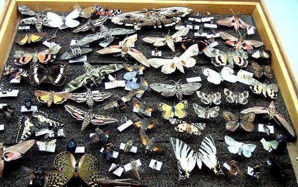 Kahramanmaraş'ta böcek müzesi oluşturan Prof. Dr. Murat Aslan'ın, 25 yılda topladığı 3 bin böceğin bulunduğu koleksiyonu yoğun ilgi görüyor  - Sputnik Türkiye
