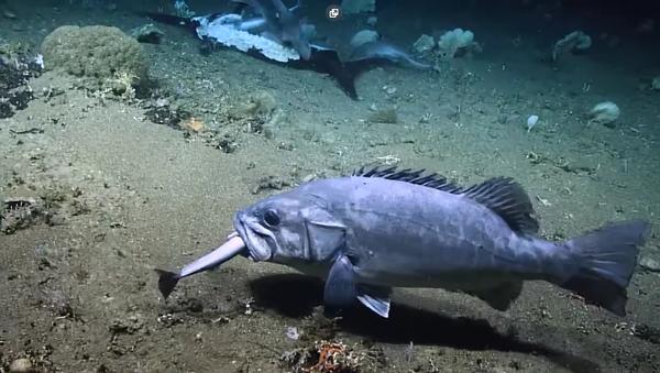 Kılıç balığı yiyen köpek balığı, batık balığı tarafından yutuldu - Sputnik Türkiye