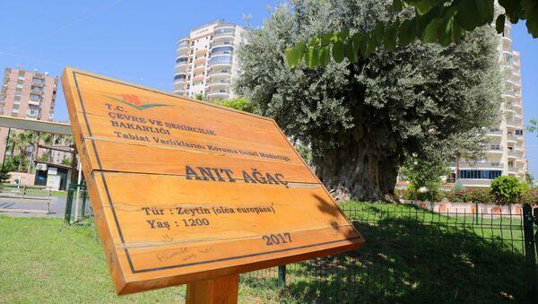 Mersin'in Mut ilçesinde 7 yıl önce sökülen 1202 yıllık anıt ağacı, Mezitli ilçesinde yeniden toprakla buluşturulmasının ardından, 2 yıl sonra zeytin vermeye başladı. - Sputnik Türkiye