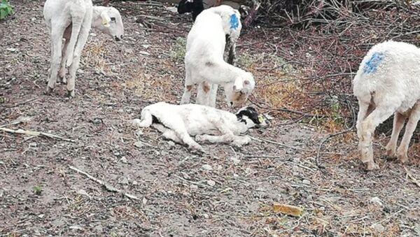 Koyunlar vebalı çıktı: 7 mahalle karantinaya alındı - Sputnik Türkiye