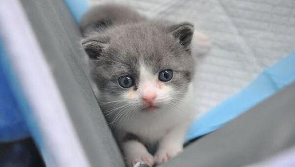 Çin'in ilk klonlanmış kedisi Garlic doğdu - Sputnik Türkiye