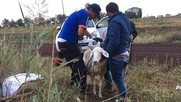 Rögar kuyusuna düşen koyunu AFAD kurtardı - Sputnik Türkiye
