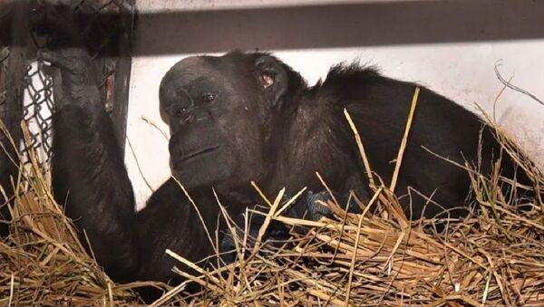 Şempanze Rita  - Sputnik Türkiye