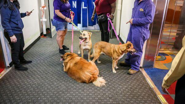 Bahama Adaları'nı vuran Dorian Kasırgası'ndan sonra Big Dog Ranch ekibi yıkıntılar arasında kalan köpekleri kurtarıyor. - Sputnik Türkiye
