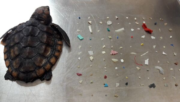 Gumbo Limbo Doğa Merkezi, ölen yavru deniz kaplumbağasının ve midesinden çıkan plastik parçalarının fotoğrafınıFacebook'ta paylaştı. - Sputnik Türkiye