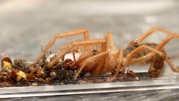 Et yiyen örümcek - Sputnik Türkiye