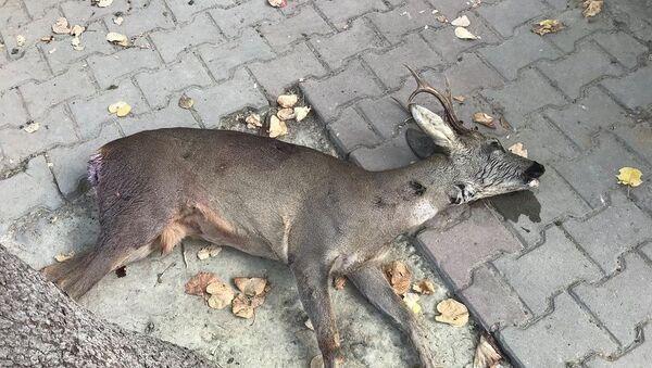 Tabancayla vurulan karaca - Sputnik Türkiye