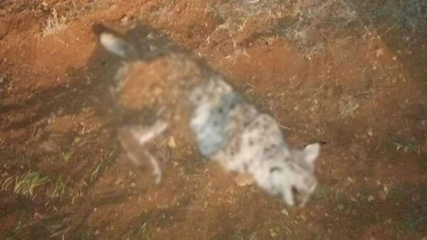 Koruma altındaki vaşak tüfekle öldürüldü - Sputnik Türkiye