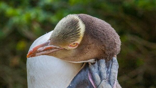 Nesli tükenmekte olan sarı gözlü penguen hoiho - Sputnik Türkiye