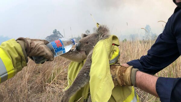 Avustralya'da orman yangınından kurtarılan bir koala - Sputnik Türkiye