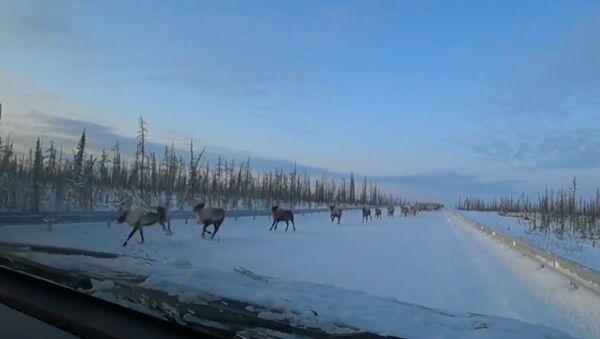 Bir sürücünün binlerce başlık geyik sürüsüne yol vermesi kameraya yansıdı - Sputnik Türkiye
